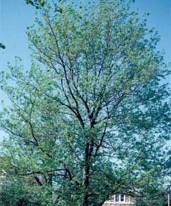 Picture of a Thornless Honeylocust tree.