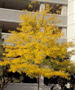 Picture of a Thornless Honeylocust tree in fall color.