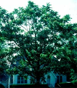 Picture of a Tree of Heaven tree.