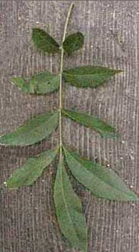 Picture of Water Hickory tree leaves. Link to Water Hickory tree.