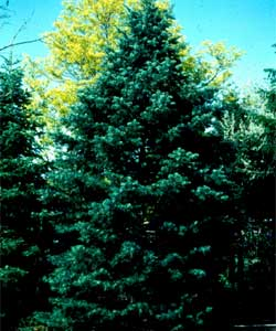 Picture of a White Fir tree.