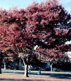 Picture of a Zelkova tree in fall color.
