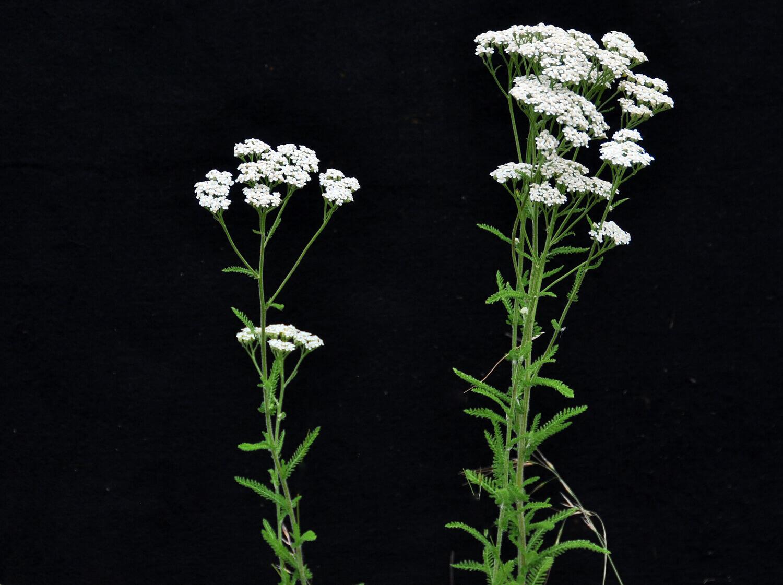 Yarrow [Achillea millefolium]