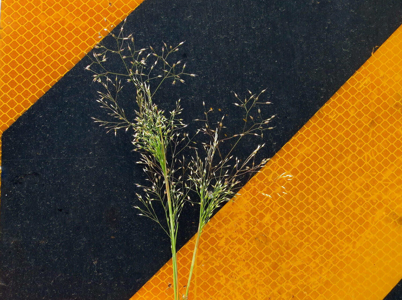 Elliot's Bentgrass [Agrostis elliotiana]