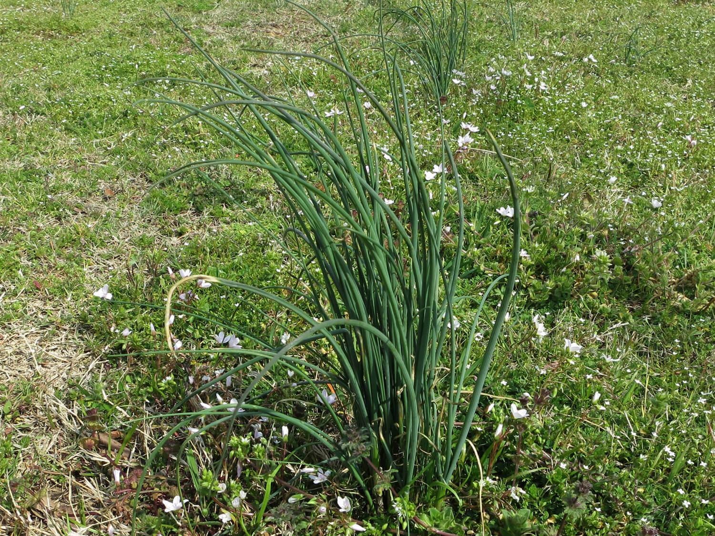 Wild Garlic [Allium Vinesale]