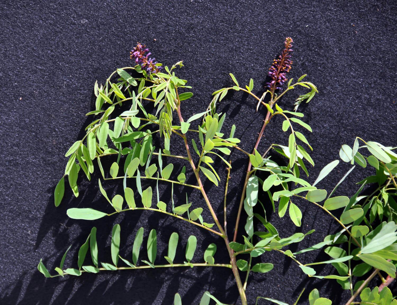 Indigobush [Amorpha fruticosa]