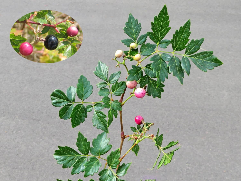 Pepper Vines [Ampelopsis arborea]