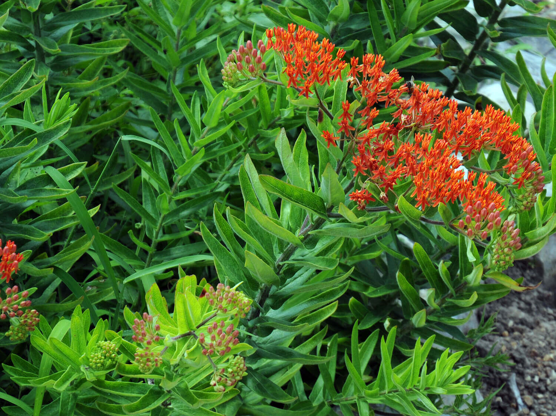 Butterfly Milkweed [Asclepias tuberosa]