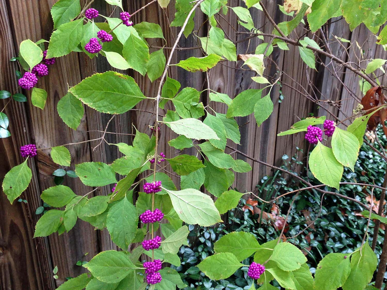 American Beautyberry [Callicarpa americana]