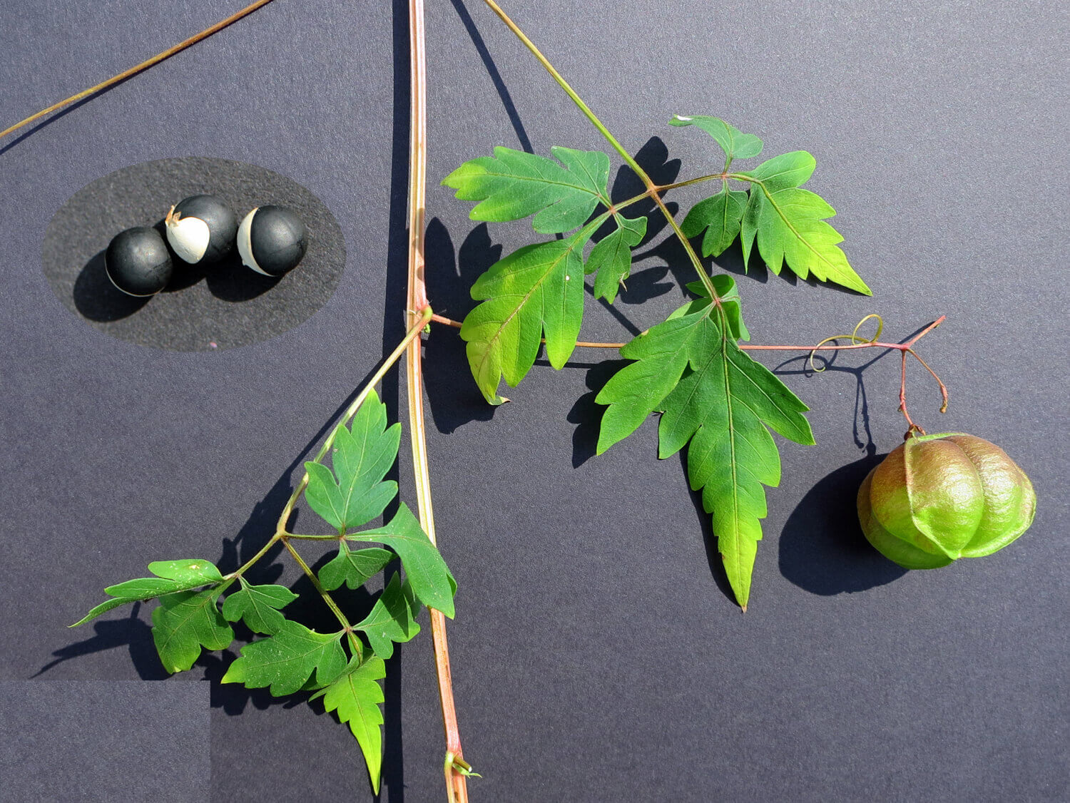 Balloon Vines [<em>Cardiospermum halicacabum</em>]