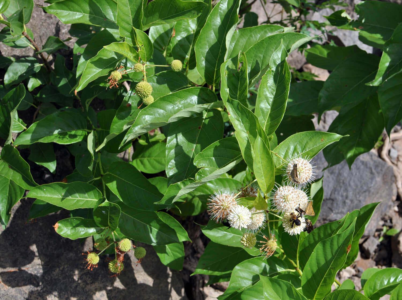Buttonbush [Cephalanthus occidentalis]