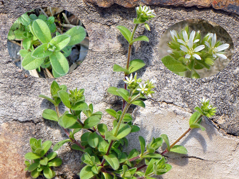 Sticky Chickweed [Cerastium vulgare]