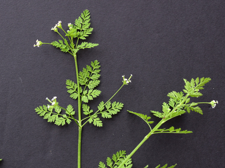Chervil [Chaerophyllum tainturieri]