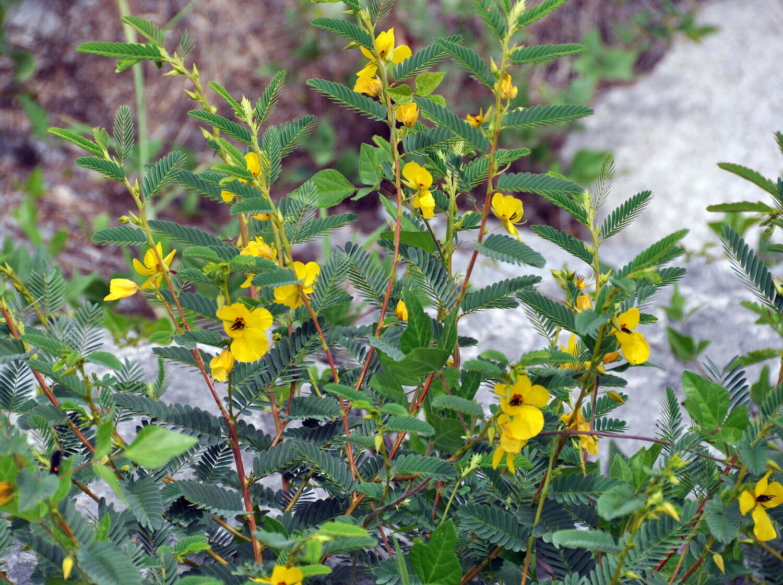 Partridge Pea [Chamaecrista fasiculata]