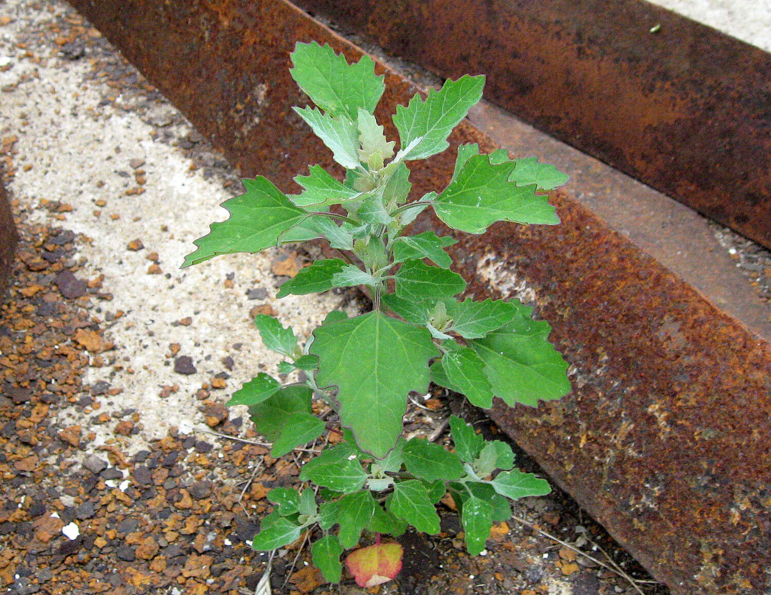 Lambsquarters [<em>Chenopodium album</em>]