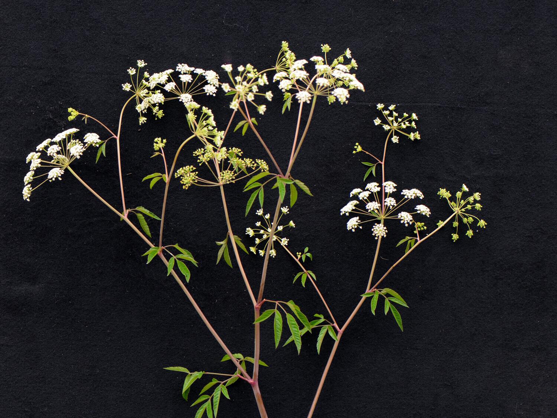 Water Hemlock [Cicuta maculata]