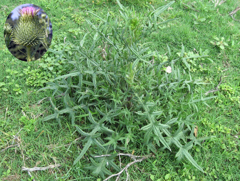 Bull Thistle [Cirsium vulgare]