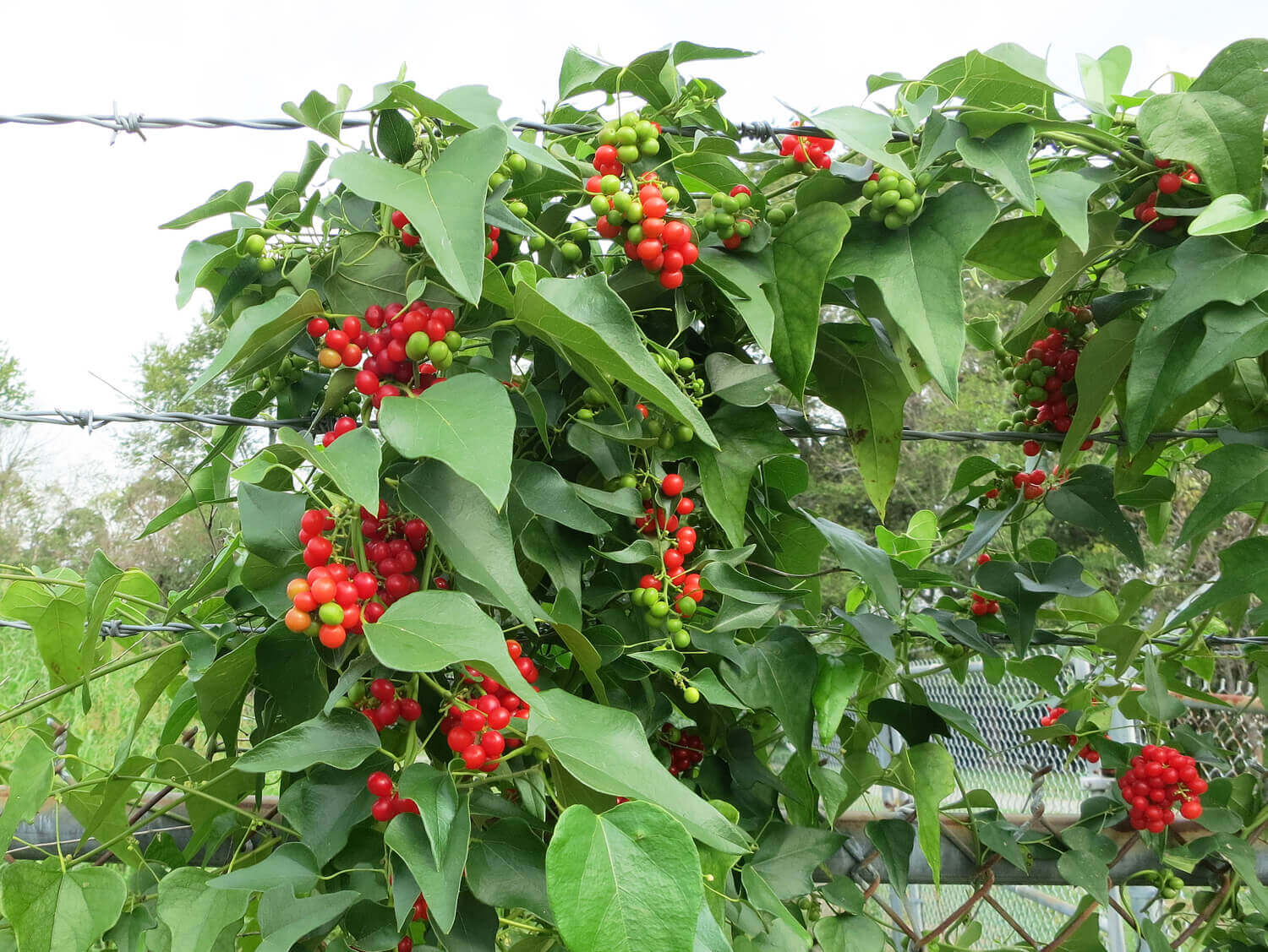 Red Berry Moonseed [Cocculus carolinianum]