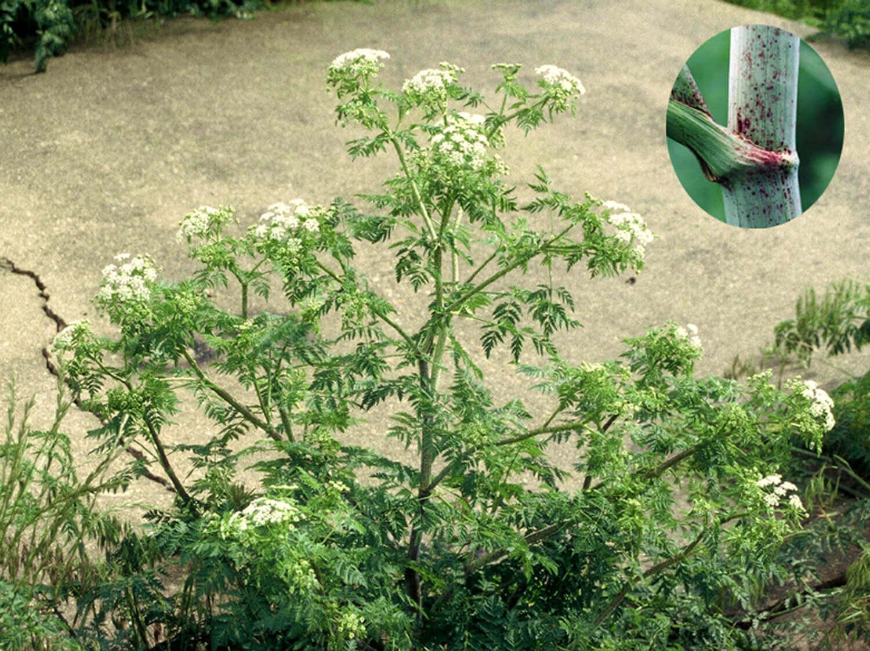 Poison Hemlock [Conium maculatum]