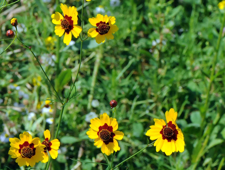 Plains Coreopsis [Coreopsis grandiflora]