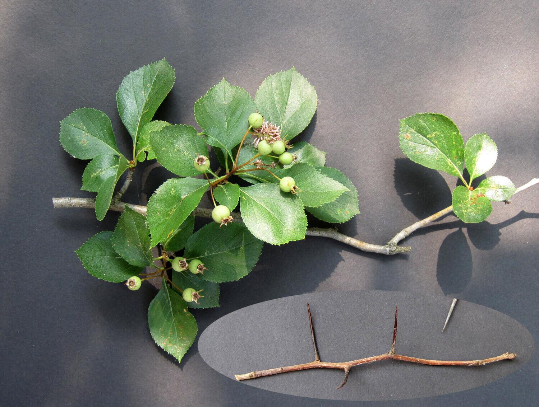 Hawthorn [Crataegus spp.]