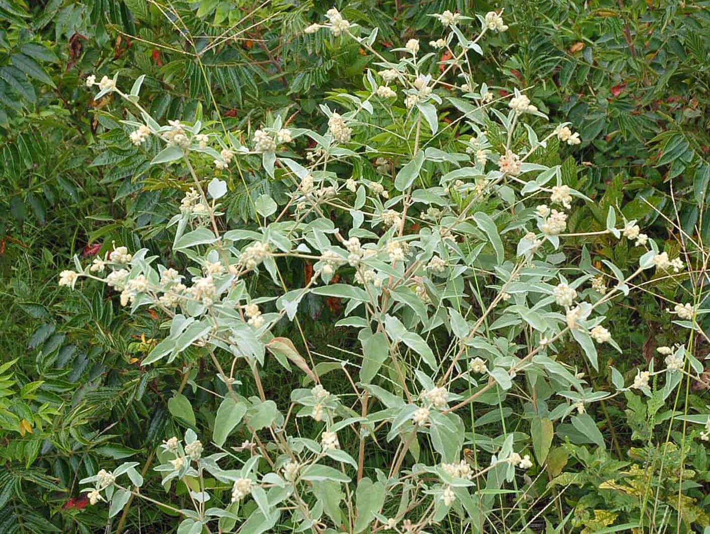 Woolly Croton [Croton capitatus]