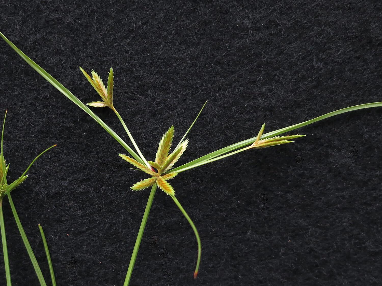 Annual Sedge [Cyperus compressus]