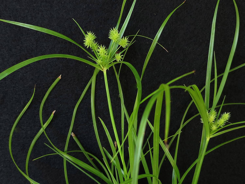 Globe Sedge [Cyperus croceus]