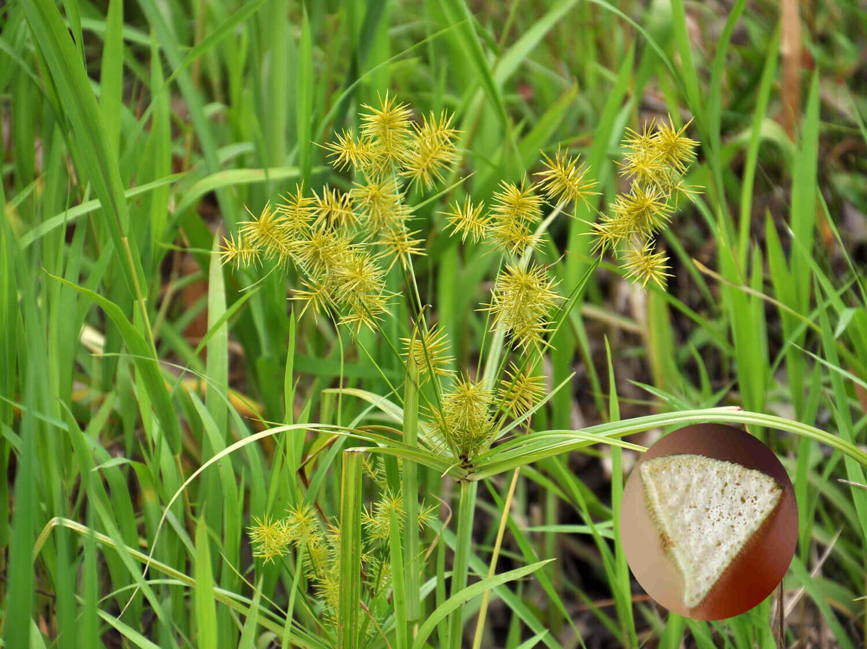Yellow Nutsedge [Cyperus esculentus]