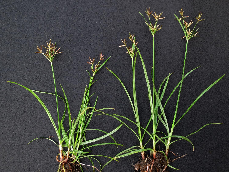Purple Nutsedge [Cyperus rotundus]