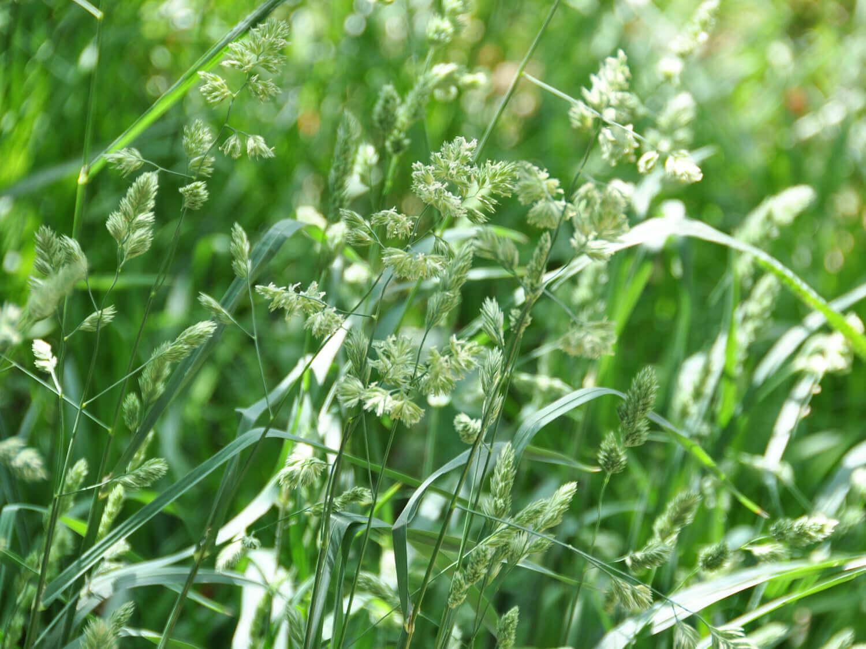 Orchardgrass [Dactylis glomerata]