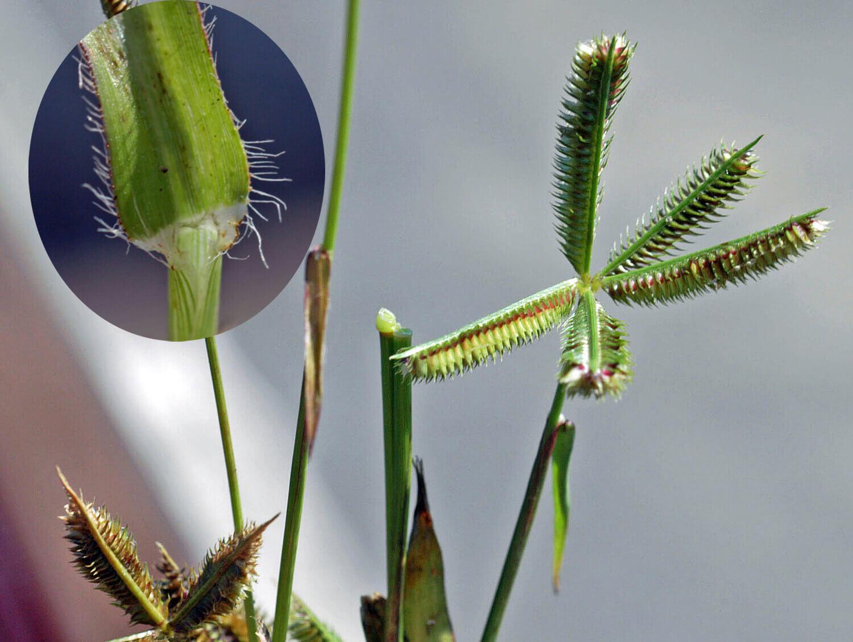 Crowfoot [Dactyloctenium aegyptium]