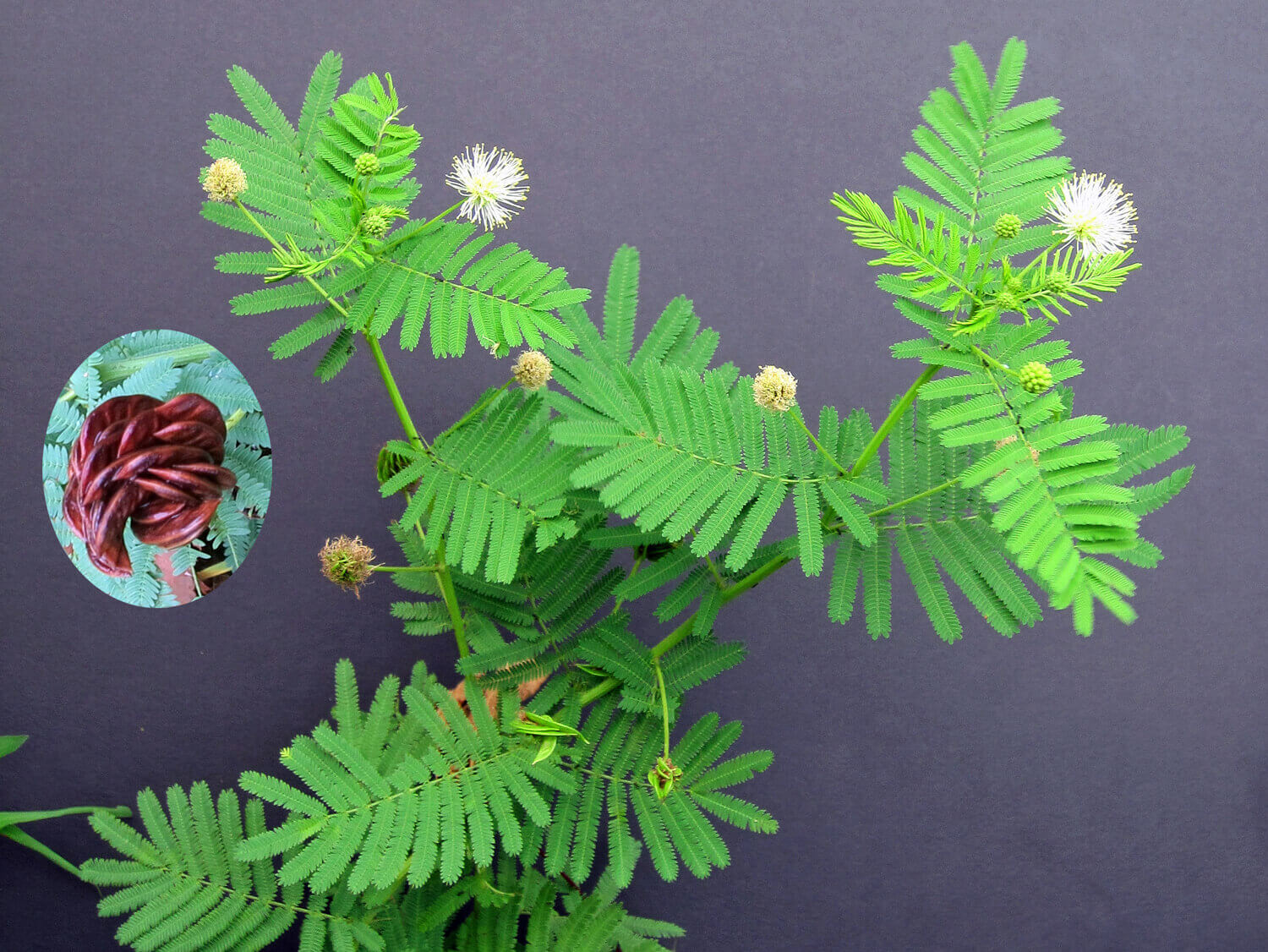 Illinois Bundleflower [<em>Desmanthus illinoiensis</em>]