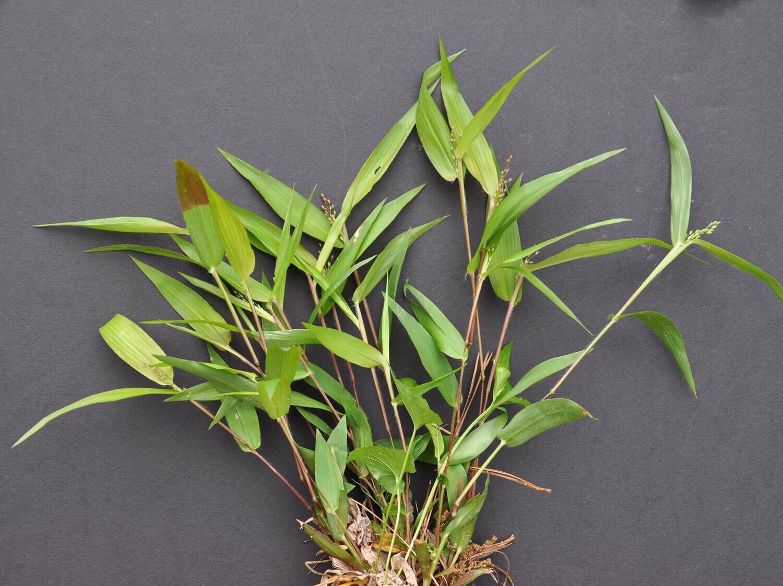 Round Seed Rosettegrass [Dicanthelium sphaerocarpon]