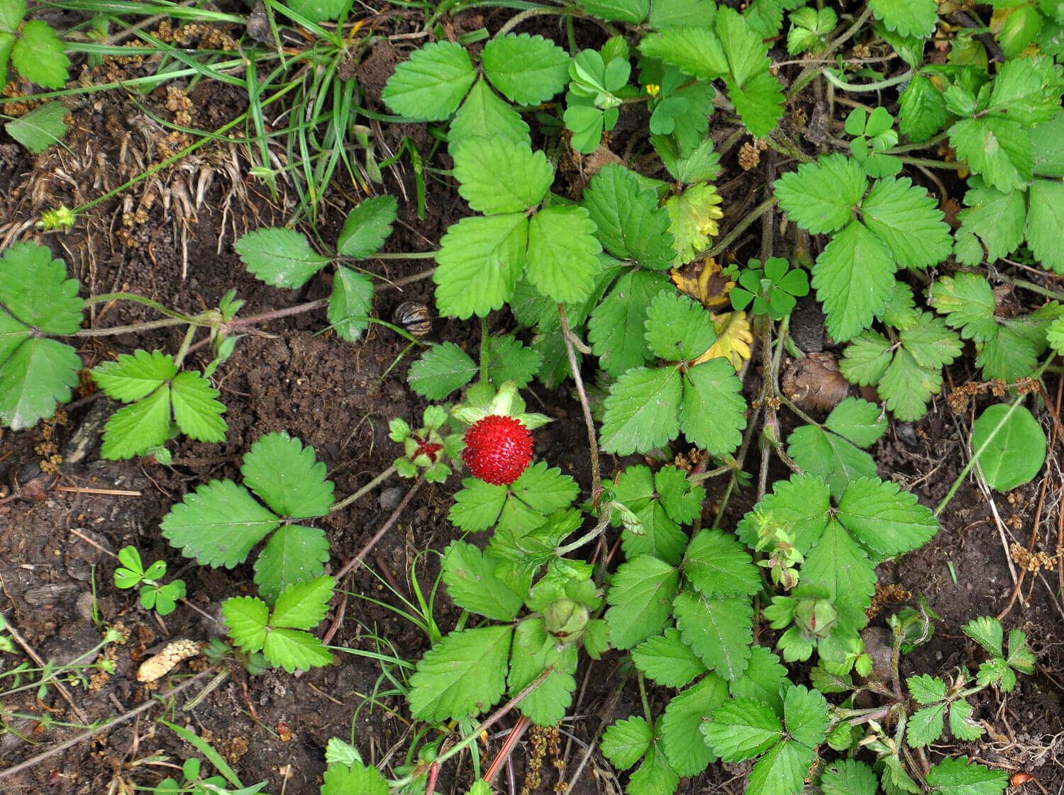 Indian Mock Strawberry [<em>Duchesnea indica</em>]