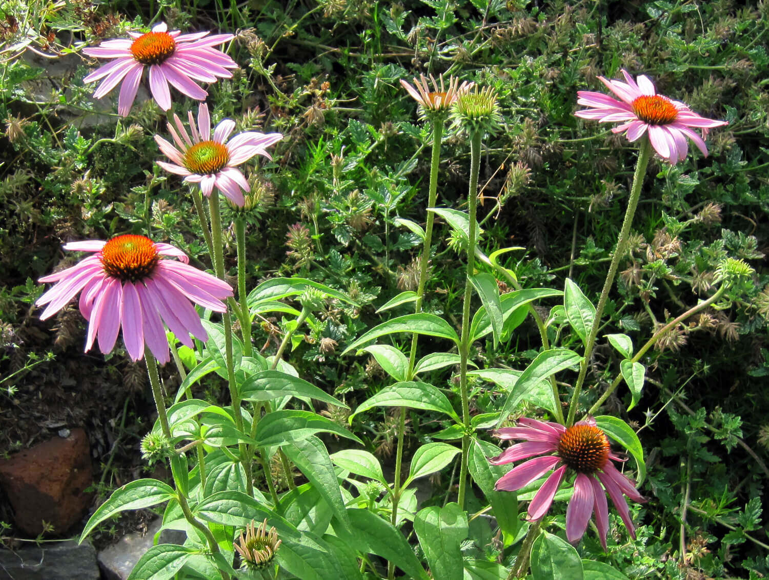 Purple Coneflower [<em>Echinacea purpureum</em>]