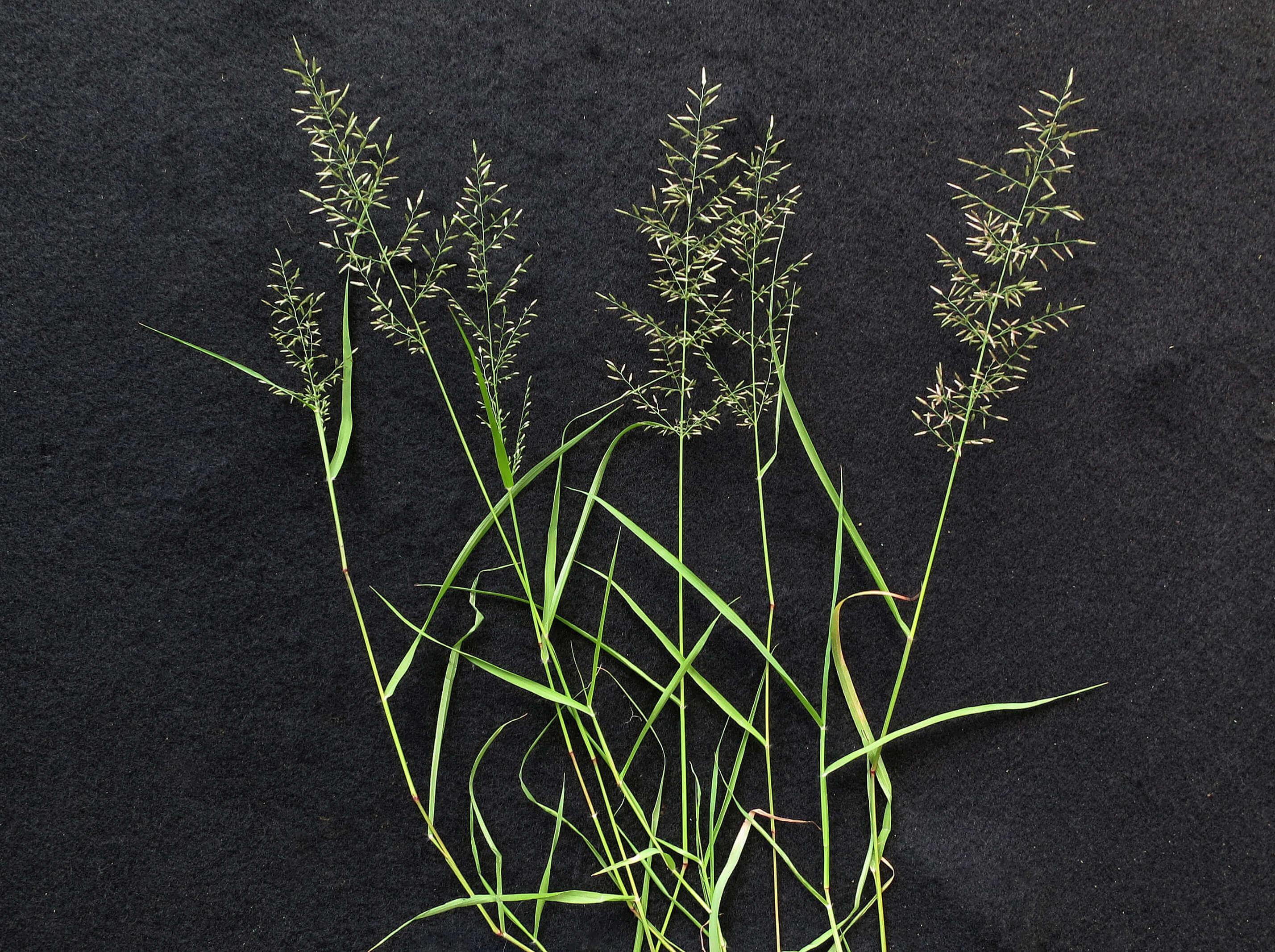 Stinkgrass [Eragrostis cilianensis]