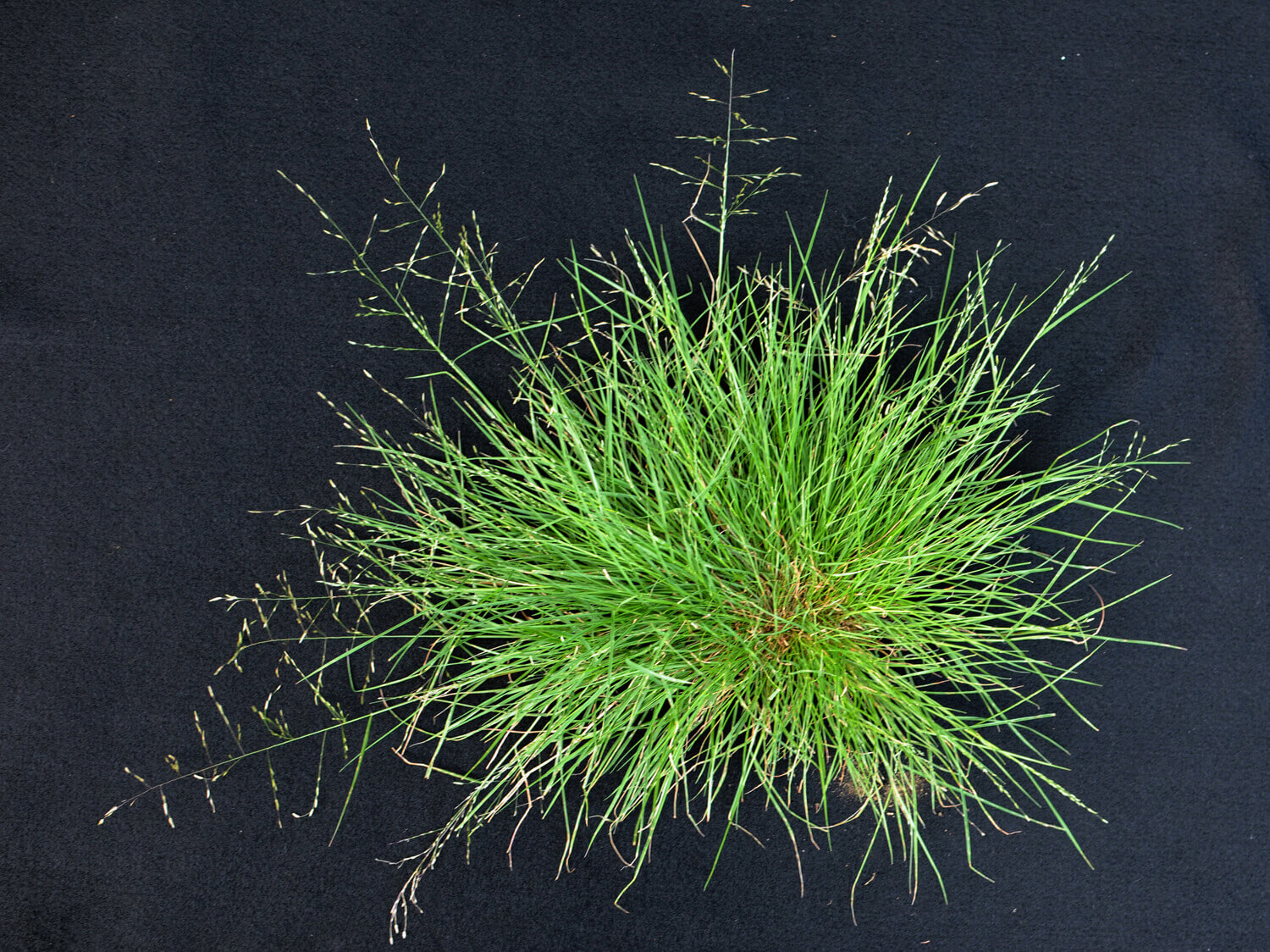 Tufted Lovegrass [Eragrostis pectinacea]