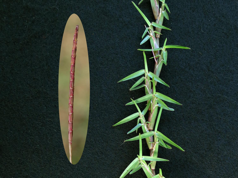 Centipedegrass [Eremechloa ophiuroides]