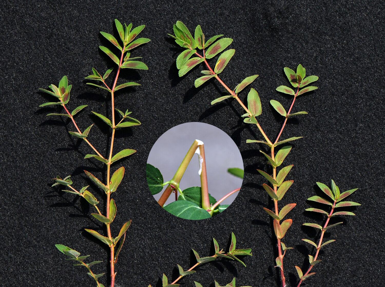 Nodding Spurge [Euphorbia nutans]