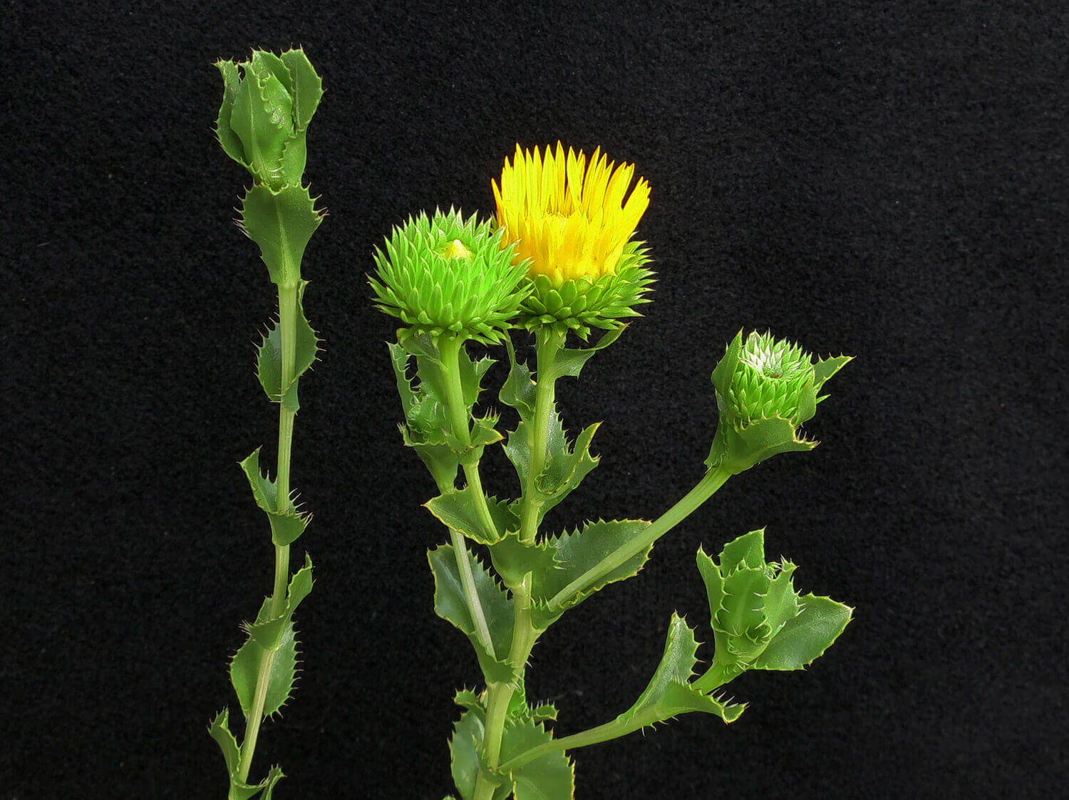Wax Goldenweed [<em>Grindelia ciliata</em>]