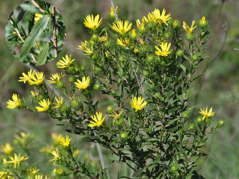 Gum Plant [Grindelia lanceolata]