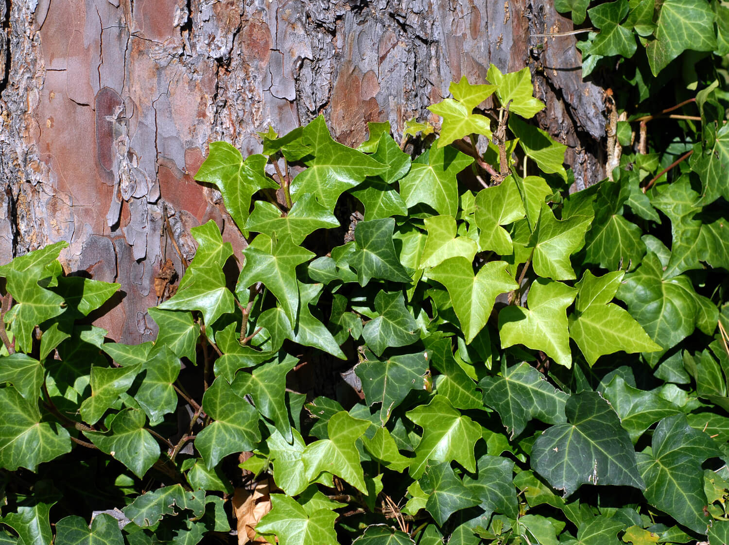 English Ivy [<em>Hedera helix</em>]