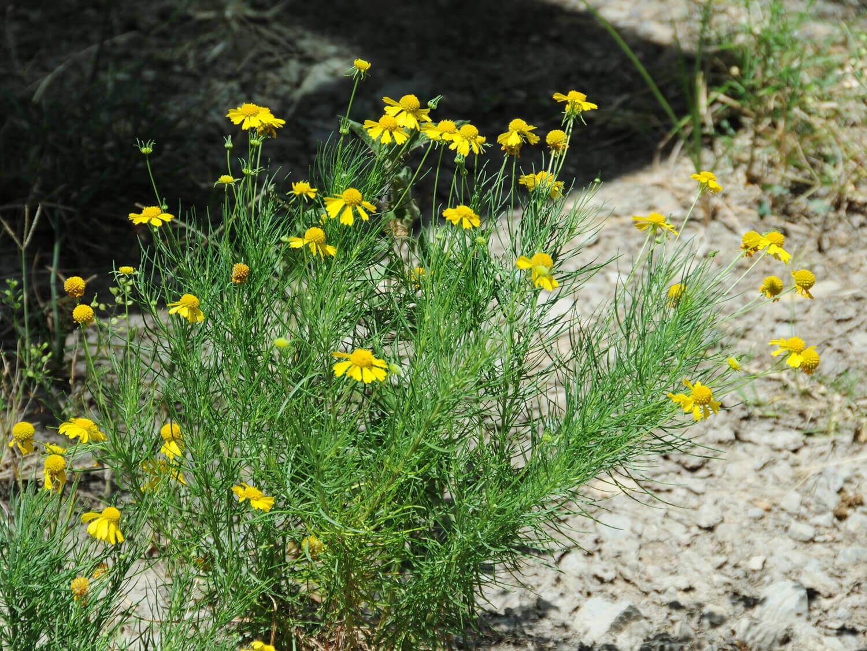 Bitterweed [Helenium amarum]