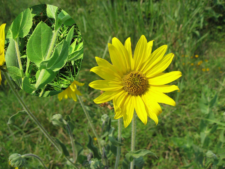 Ashy Sunflower [Helianthus mollis]