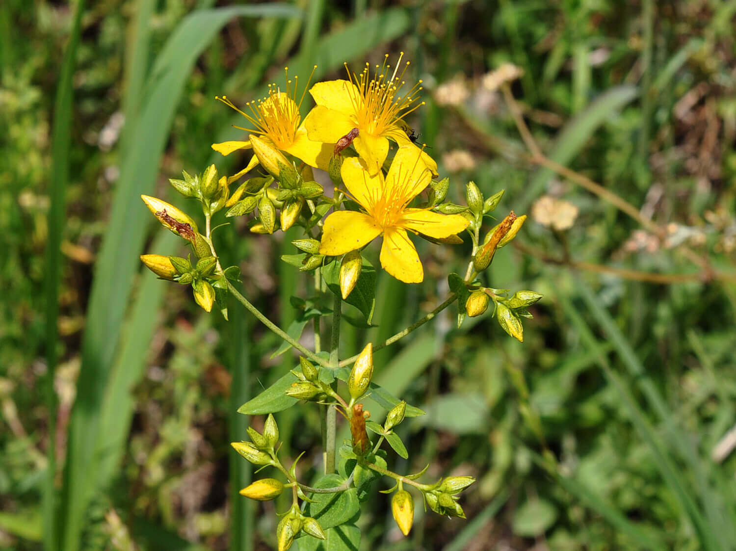 False Spotted St. Johnswort [<em>Hypericum pseudomaculatum</em>]