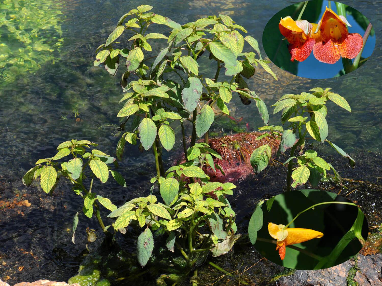 Jewel Weed [Impatiens capensis]