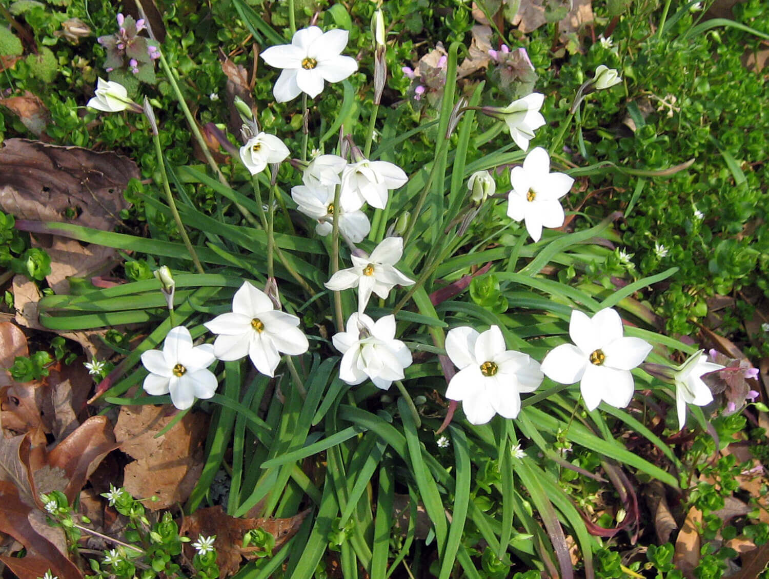 Spring Starflower [<em>Ipheion uniflorum</em>]