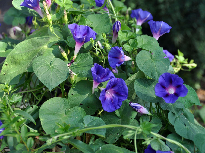 Tall Morninglory [Ipomoea purpurea]