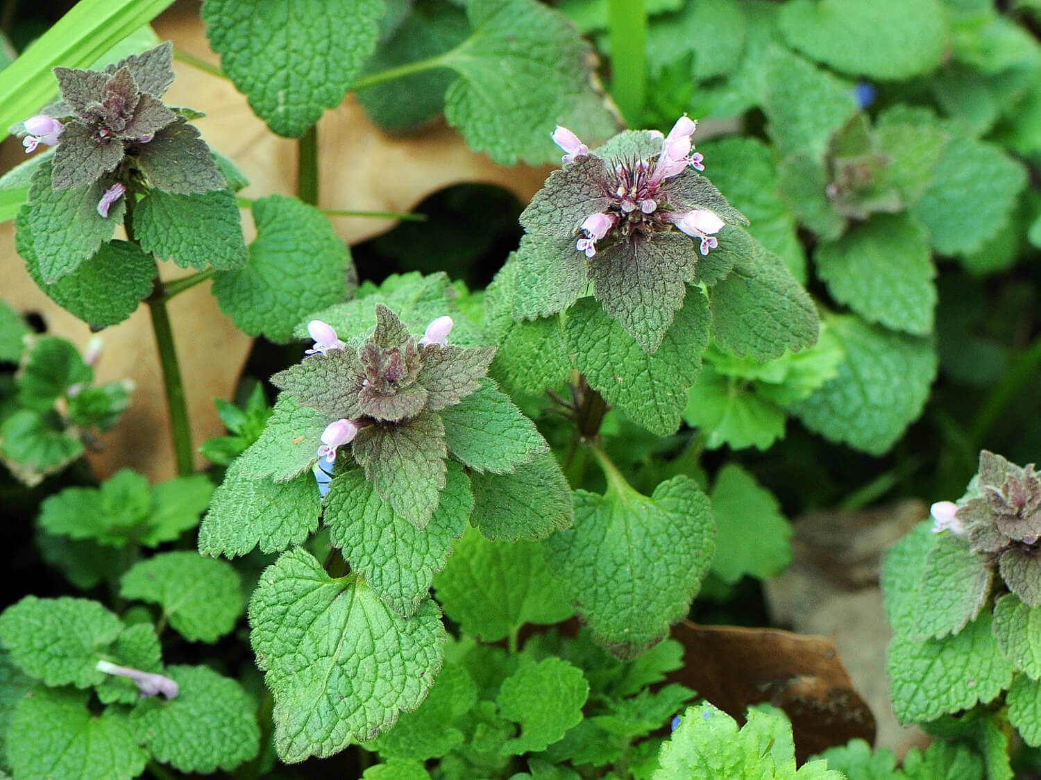 Purple Deadnettle [<em>Lamium purpureum</em>]
